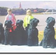 """Русские черные терьеры из питомника """"Барби с Бронич"""" группа в Моем Мире."""