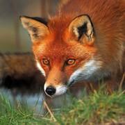 sly fox fox on My World.